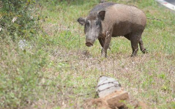Video shows wild boar attacking man, but people doing little